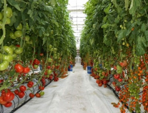 کشاورزان نگران بازار محصولات گلخانهای نباشند
