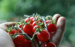 گوجه گلخانه ای