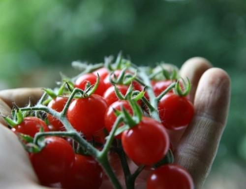فناوری نانو تولید گوجهفرنگی گلخانهای را ۲۰ درصد افزایش داد