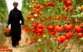 گوجه گلخانه