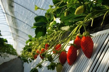 رشد ۱۲ برابری تولیدات کشاورزی با توسعه گلخانه ها