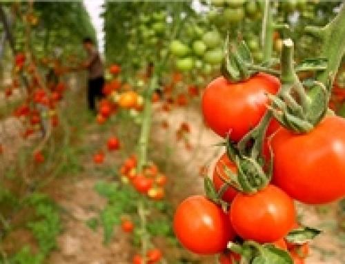 ۵ هزار هکتار گلخانه در بوشهر اجرا میشود