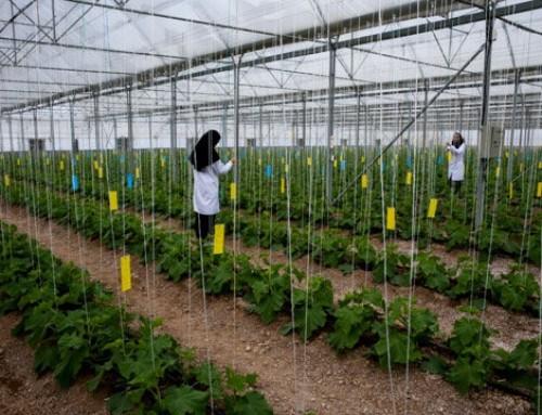 همدان رتبه اول کشت گلخانه ای در ایران