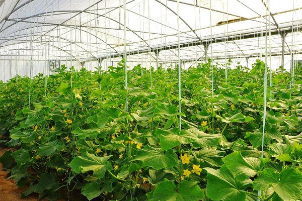 کشت گلخانهای در پارسآباد مغان توسعه مییابد