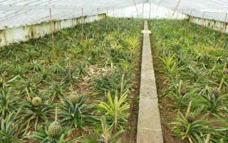 گلخانه آناناس