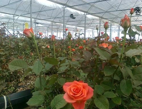 درآمد ۵ میلیون دلاری گلخانههای تهران از محل صادرات